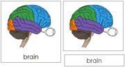 Brain Nomenclature Cards - Printable Montessori Learning Materials by Montessori Print Shop.