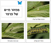 Hebrew Butterfly Life Cycle Book - Printable Montessori Hebrew Materials for home and school.