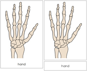 Hand Nomenclature Cards - Printable Montessori Learning Materials by Montessori Print Shop.