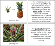 Pineapple Life Cycle Nomenclature Book - Printable Montessori materials by Montessori Print Shop.