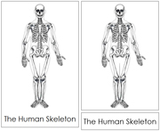 Skeleton Nomenclature Cards - Printable Montessori Learning Materials by Montessori Print Shop.