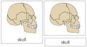 Skull Nomenclature Cards - Printable Montessori Learning Materials by Montessori Print Shop.