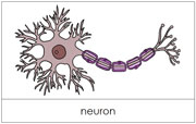 Neuron Nomenclature Cards - Printable Montessori Materials for home and school.