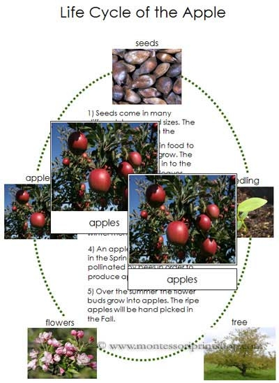Apple Life Cycle Cards and Charts - Printable Montessori Nomenclature for Montessori Learning at home and school.