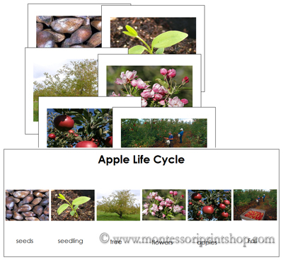 Apple Life Cycle Sequence Cards - Printable Montessori Materials for home and school.