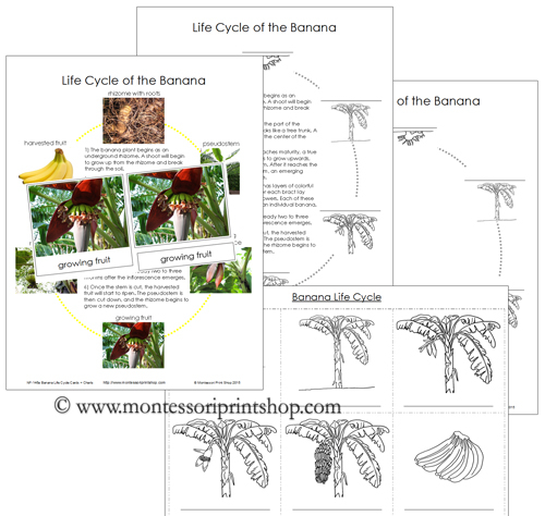 Banana Life Cycle Cards and Charts - Printable Montessori Nomenclature Materials for Montessori Learning at home and school.