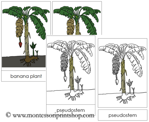 Banana Plant Nomenclature Cards - Printable Montessori materials by Montessori Print Shop
