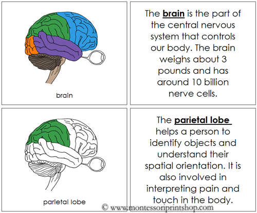 Brain Nomenclature Book - printable Montessori Nomenclature Book