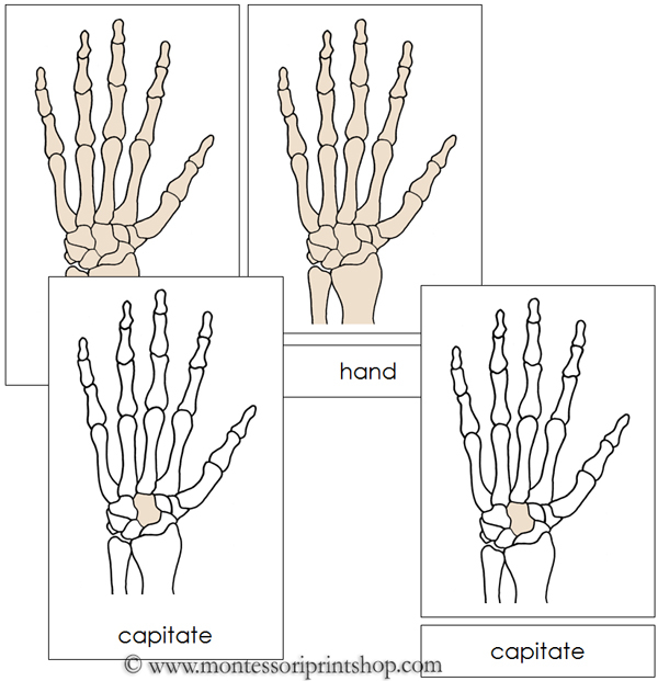 Hand Nomenclature Cards from Montessori Print Shop