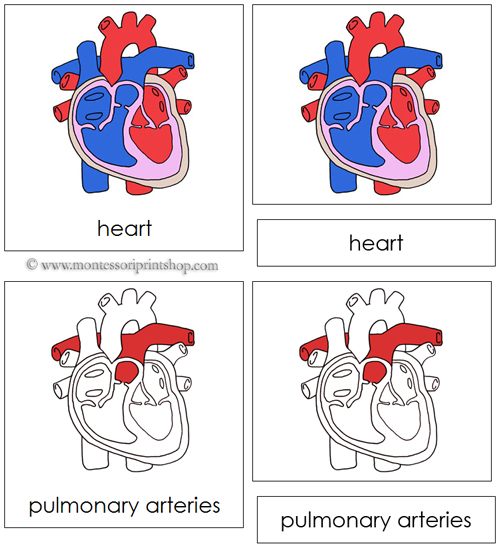human heart nomenclature cards (red): montessori parts of a human,