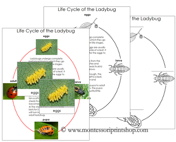 Ladybug Life Cycle Cards and Charts - Printable Montessori Nomenclature Materials for Montessori Learning at home and school.