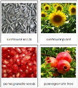 Seed and Plant Matching Cards - Printable Montessori science materials by Montessori Print Shop.