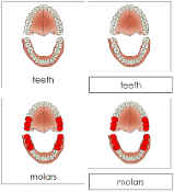 Teeth/Jaw Nomenclature Cards - Printable Montessori nomenclature cards by Montessori Print Shop.