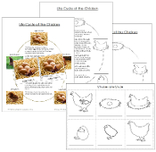 Chicken Life Cycle Cards - Printable Montessori materials by Montessori Print Shop.