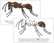 Ant Nomenclature Book - Printable Montessori Nomenclature Materials by Montessori Print Shop.