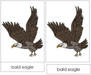 Bald Eagle Nomenclature Cards - Printable Montessori nomenclature cards by Montessori Print Shop.
