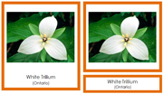 Canadian Provincial Flowers 3-Part Cards - Printable Montessori geography materials by Montessori Print Shop.