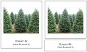 Canadian Provincial Trees 3-Part Cards (no color borders) - Printable Montessori geography materials by Montessori Print Shop.