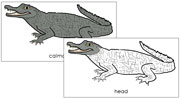 Caiman Nomenclature Cards - Printable Montessori Nomenclature Materials for home and school.