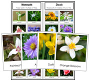 Monocot or Dicot Flower Sorting - Printable Montessori Science Cards by Montessori Print Shop.