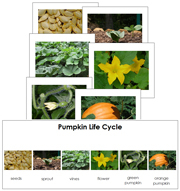 Pumpkin Life Cycle Sequence Cards - Printable Montessori materials by Montessori Print Shop.