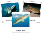 Shark Cards - Printable Montessori Classified Cards by Montessori Print Shop.