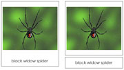 Spider Cards - Printable Montessori Classified Cards by Montessori Print Shop.