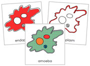 Amoeba Nomenclature Cards (in red) - Printable Montessori Nomenclature Materials by Montessori Print Shop.