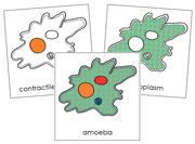 Amoeba Nomenclature Cards - Printable Montessori Nomenclature Materials by Montessori Print Shop.