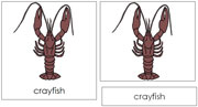 Crayfish Nomenclature Cards - Printable Montessori nomenclature cards by Montessori Print Shop.