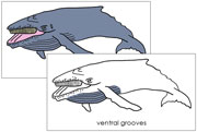 Humpback Whale Nomenclature Cards - Printable Montessori Nomenclature Materials for home and school.