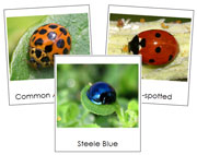 Lady Beetle Cards - Printable Montessori Classified Cards by Montessori Print Shop.