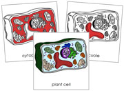 Plant Cell Nomenclature Cards - Printable Montessori nomenclature cards by Montessori Print Shop.